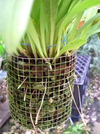 Coltivare le orchidee con passione un po di satira for Vasi per orchidee